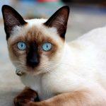 นิสัยของสัตว์เลี้ยงที่มีชื่อว่าแมววิเชียรมาศ