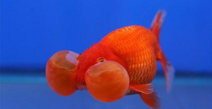 นิสัยของสัตว์เลี้ยงที่มีชื่อว่า ปลาทอง