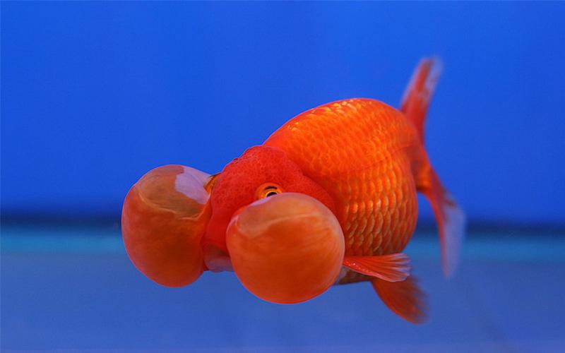 m-town-goldfish-s